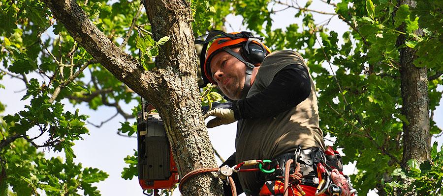 trädbeskärning i göteborg av stor ek