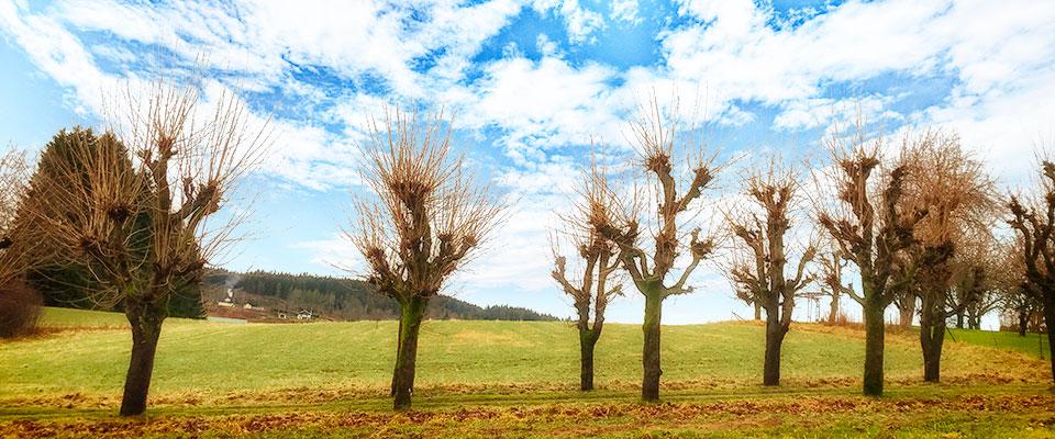 Hamling av träd, trädbeskärning Tradnu AB trädfällning i och runt Göteborg med omnejd