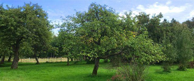 Beskärning av äppleträd
