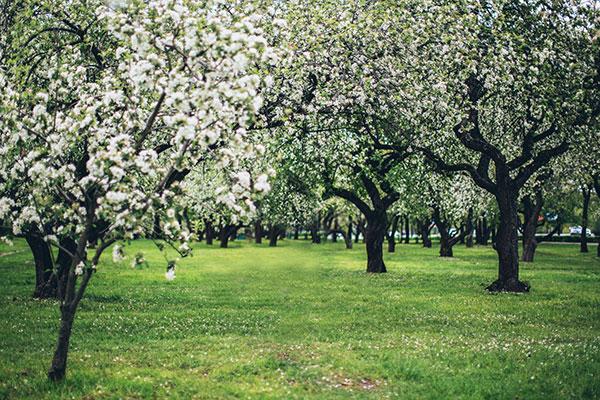 Pantering av fruktträd Tradnu AB