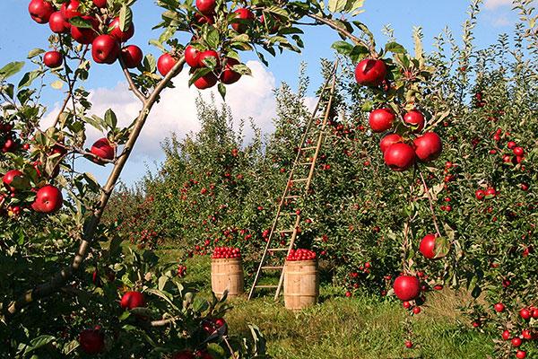 trädbeskärning, Beskära äppelträd