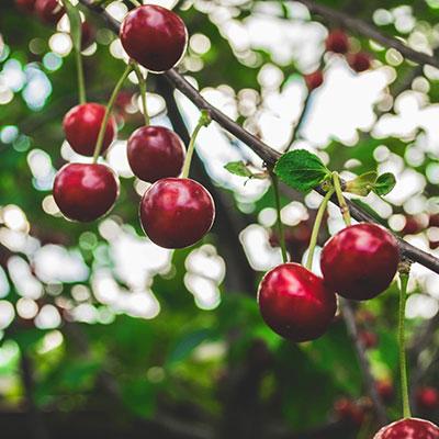 Trädbeskärning fruktträd Tradnu AB i och runt Göteborg med omnejd