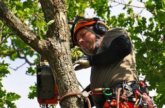 trädfällning i göteborg av stor ek